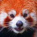 Красная малая панда, занесённый в красную книгу