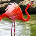 Красный фламинго, занесённый в красную книгу