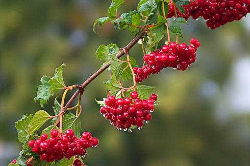 Лечебные свойства красной калины — средства для ускорения выздоровления
