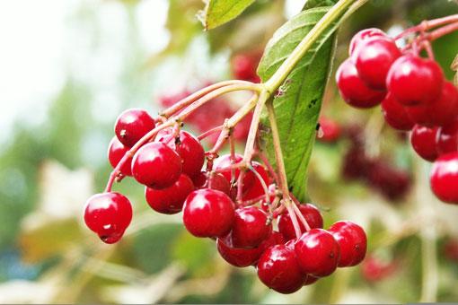 Лечебные свойства красной калины - средства для ускорения выздоровления