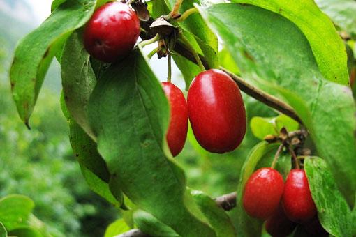 Красные ягоды кизила продлевают жизнь и наделяют большей выносливостью