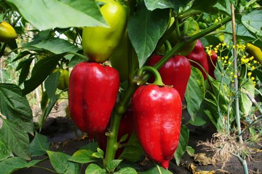 Польза красного болгарского перца