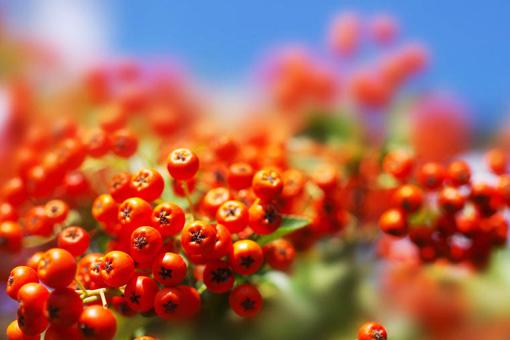 Целебные и полезные свойства красной рябины