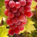 Красный виноград «Кардинал» и его лечебные и полезные свойства