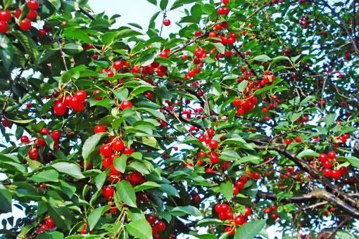 Полезные и лечебные свойства вишни