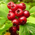 Полезный боярышник с плодами красного цвета