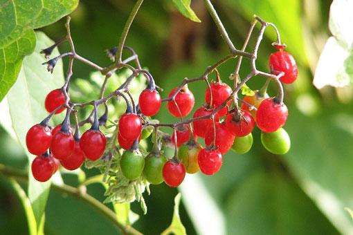 Лечебные и полезные свойства красного сладко-горького паслёна