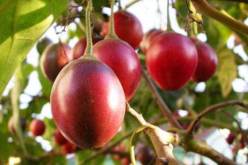 Тамарилло или Томатное дерево - универсальный и необычайно полезный фрукт