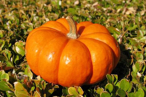 Лечебные и полезные свойства тыквы