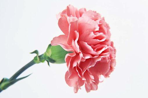 Розовая гвоздика