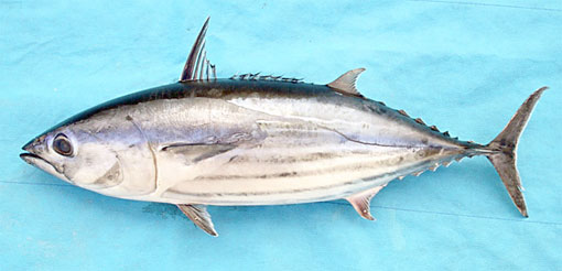 Хищная морская рыба тунец