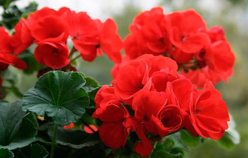 Ботанические свойства красной герани