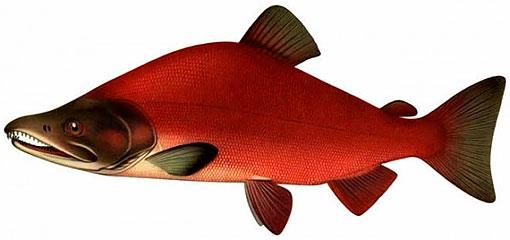 Описание рыбы красная нерка