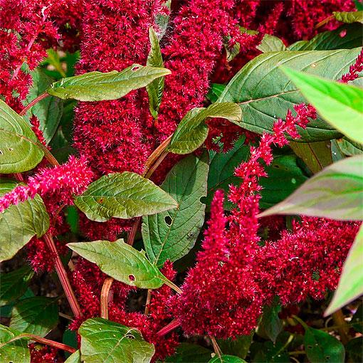Амарант с густыми красными соцветиями