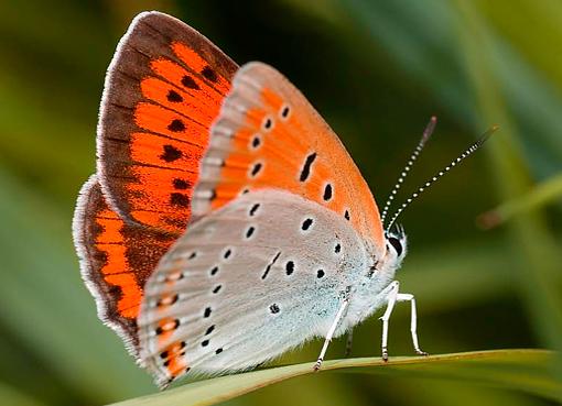 Бабочка червонец непарный