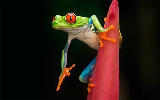 Красноглазые квакши - самые популярные террариумные лягушки