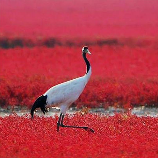 Красный пляж Паньцзинь - заповедник в центральной части Китая