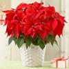 Пуансеттия прекраснейшая – подаренная природой и чудом Рождественская звезда