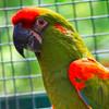 Красноухий ара — красивый представитель экзотического семейства пернатых