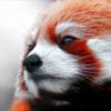 Малая красная панда — зверёк, подвергающийся опасности вымирания