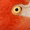 Красный фламинго — птица необыкновенной красоты, обитающая на Карибских островах