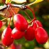 Барбарис — полезные и лечебные свойства красных ягод, листьев, корней и коры