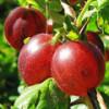 Полезные свойства красного крыжовника для сердечно-сосудистой системы