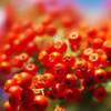 Целебные и полезные свойства красной рябины, укрепляющей жизненную силу