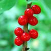 Лечебные и полезные свойства красного ядовитого волчеягодника обыкновенного