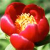 Марьин корень или пион успокаивает нервы и восстанавливает здоровый сон