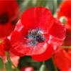 Красный мак —  цветок прекрасных грёз и сновидений