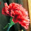 Красная гвоздика – символ бунтарства и победы