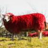 Красные овцы на забаву автомобилистам и туристам трассы М8