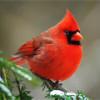 Красный кардинал – птица с ярким оперением и символ семи штатов США