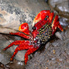 Мангровый красный краб – юркий житель пляжей и прибрежных зарослей