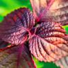 Красный базилик и его полезные свойства, как использовать и где хранить