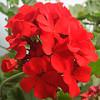 Красная герань — лечебный и колдовской цветок с сильной энергетикой