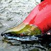 Рыба красная нерка с нестандартным вкусом для требовательных гурманов