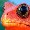 Красно-оранжевая жаба наиболее эффектная на Земле амфибия
