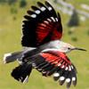 Краснокрылый стенолаз дивная птичка с особенными способностями