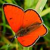 Бабочка огненно-красный Червонец непарный не останется без пары