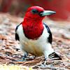 Красноголовый дятел ловит насекомых на лету и страшно любит ягоды и фрукты