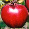 Апорт – красные крупные яблоки, о происхождении которых слагают легенды