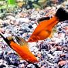 Красный меченосец: как рыбки-девочки становятся рыбками-мальчиками