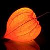 Оранжево-красные фонарики физалиса украшают дом круглый год