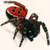 Донжуаны пауки – божьи коровки щеголяют в ярко красном