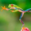 Красноглазые квакши — самые популярные террариумные лягушки