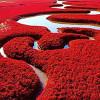 Красный пляж Паньцзинь — заповедник в центральной части Китая