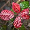 Почему у розы красные листья — природные особенности и болезни цветка