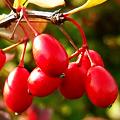 Полезные и лечебные свойства красных ягод, листьев, крней и коры барбариса
